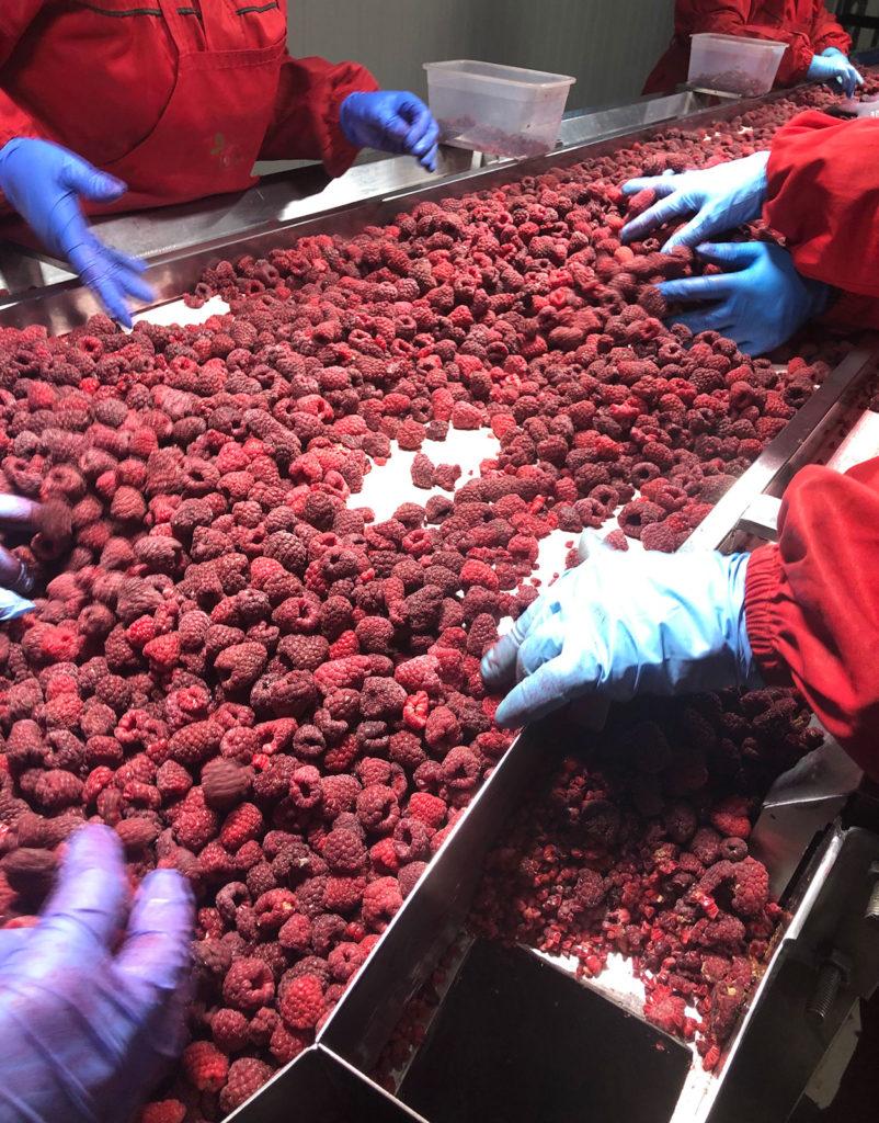 IQF raspberry processing