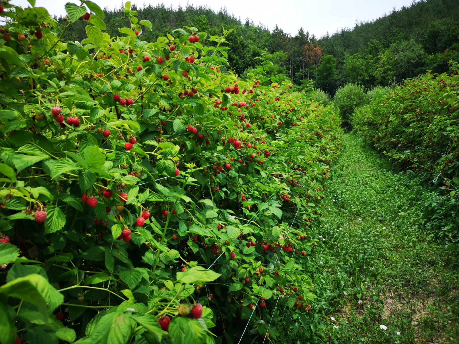 Raspberry plantations in Serbia
